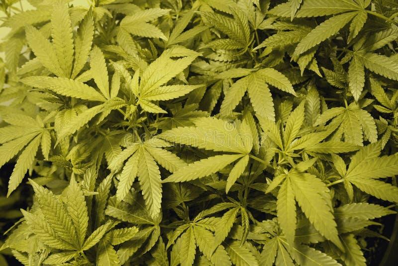 大麻顶层 图库摄影