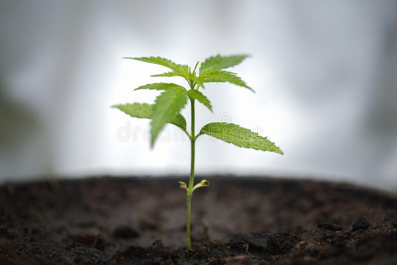 大麻,大麻树,一棵植物的大麻叶子成长幼木黑暗的背景的,医药agricultur 免版税库存照片