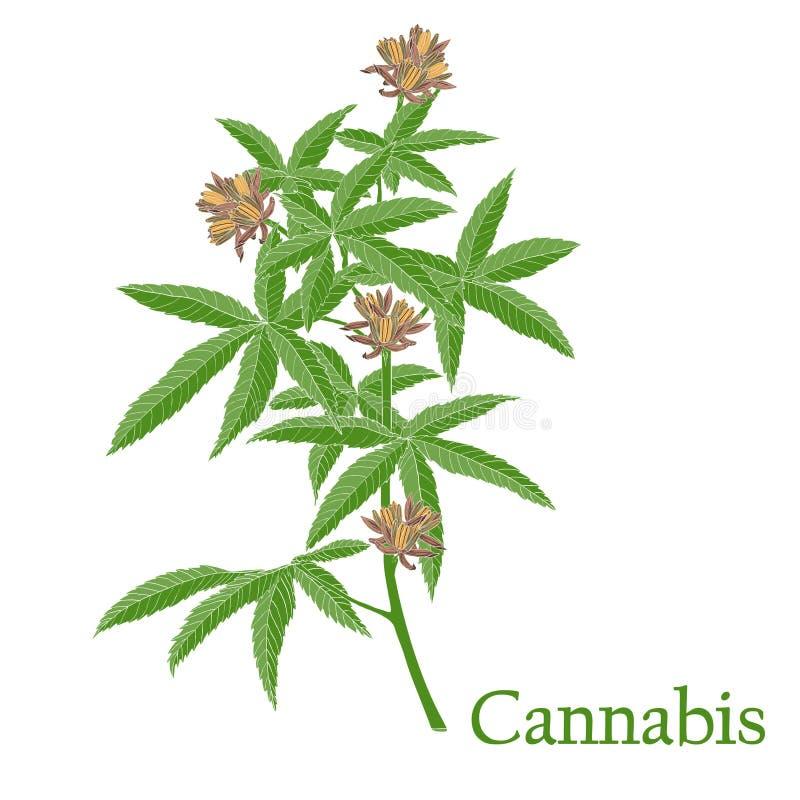 大麻 一棵植物的例证传染媒介的与我们的花 库存例证