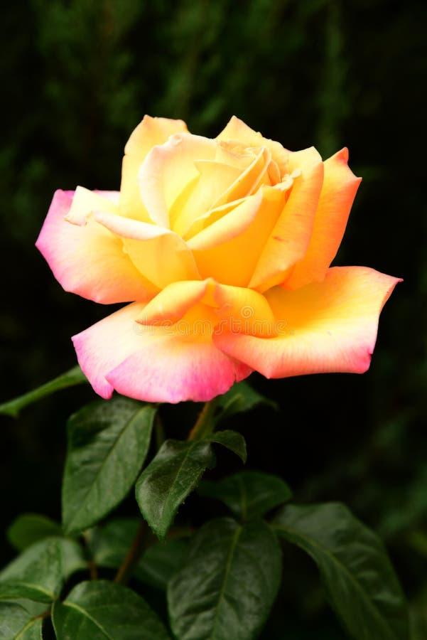 大黄色玫瑰在庭院里 免版税库存照片