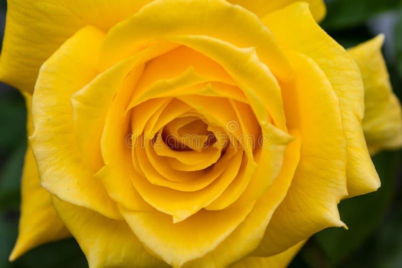 大黄色玫瑰细节在盛开的 库存照片