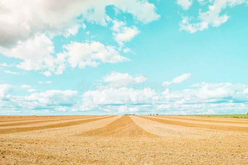 大黄色领域在收获以后 被割的麦田在蓝天和云彩下夏天晴天 在发茬的聚合的线 免版税库存图片