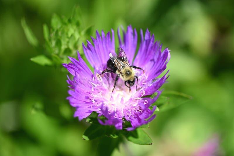 大黄蜂 免版税库存照片
