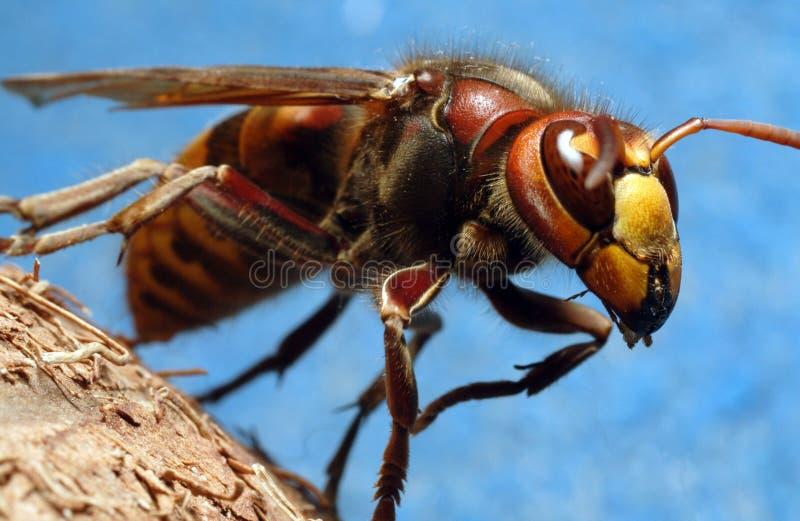 大黄蜂 库存图片