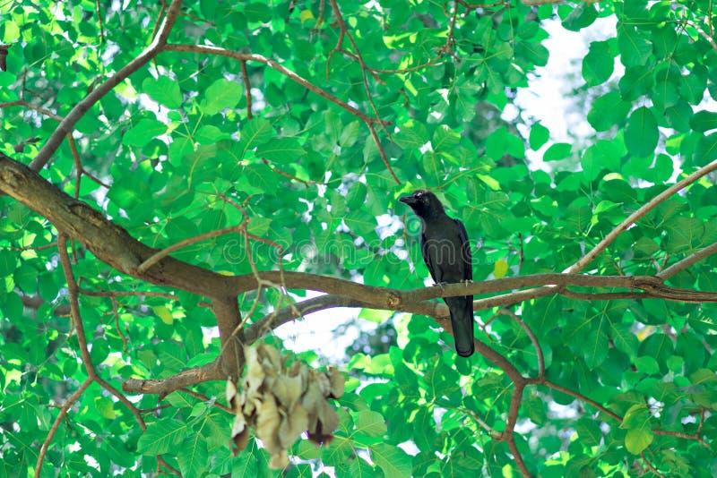 大黑乌鸦在树 库存图片