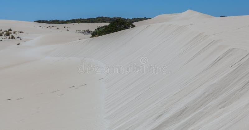 大什么沙丘和当地澳大利亚沿海植被 lit. 免版税库存照片