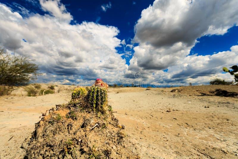 大仙人掌在红色沙漠 库存图片