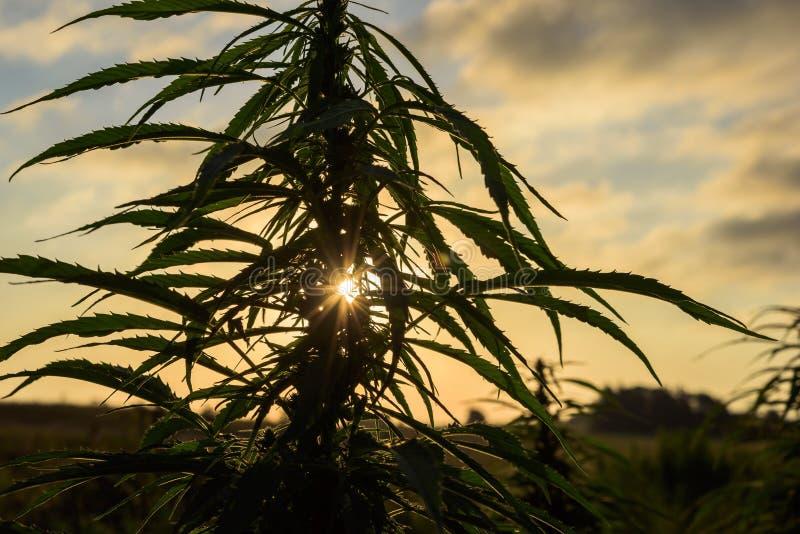 大麻剪影叶子  免版税库存照片