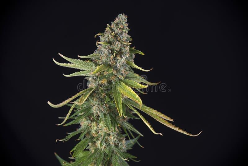 大麻可乐绿色裂缝与头发和leav的大麻张力 图库摄影
