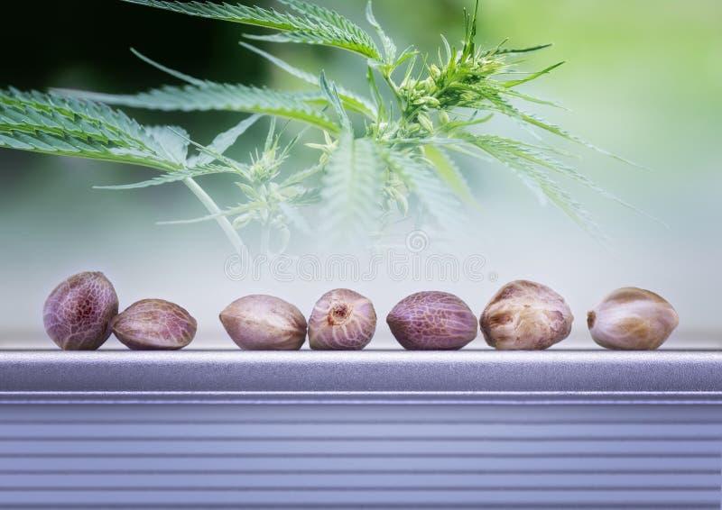 大麻叶子和种子 免版税库存图片