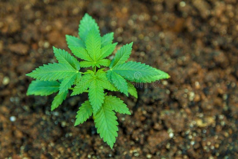大麻幼木 免版税库存图片
