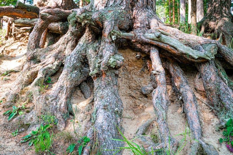 Download 大结构树根 库存照片. 图片 包括有 结构树, 工厂, 增长, 模式, 自然, 缠结, 万维网, 环境, 纹理 - 62539710