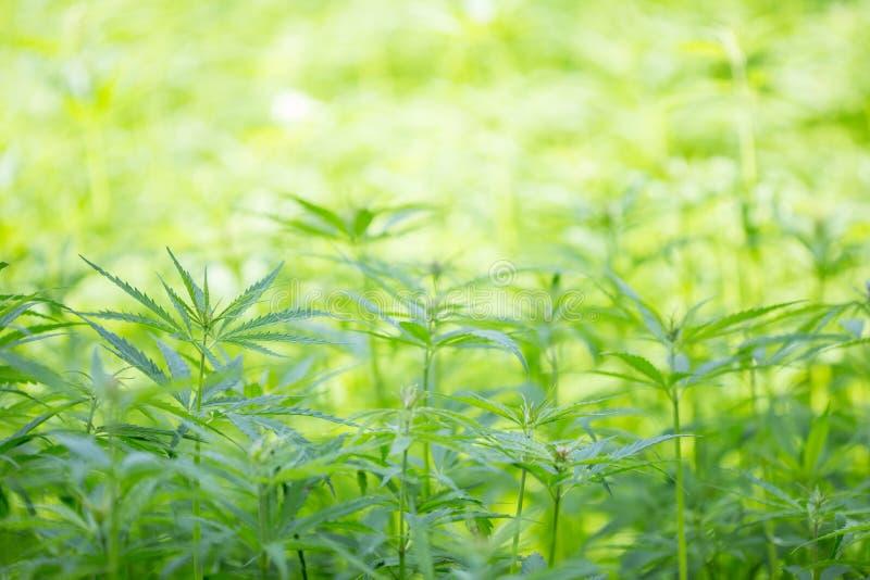 年轻大麻植物,大麻 免版税库存照片