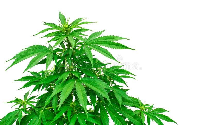 大麻植物细节  库存图片