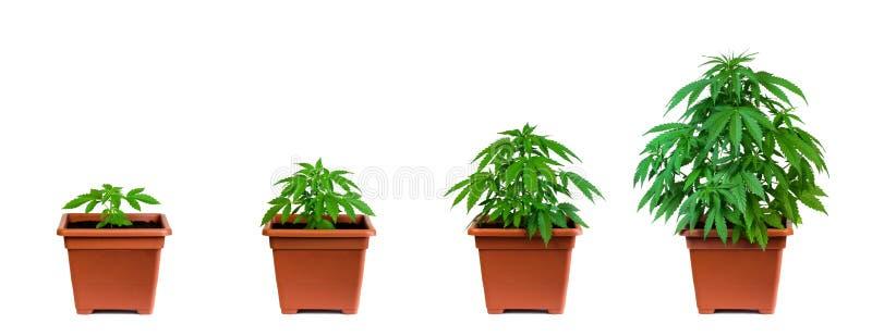 大麻生长阶段 图库摄影