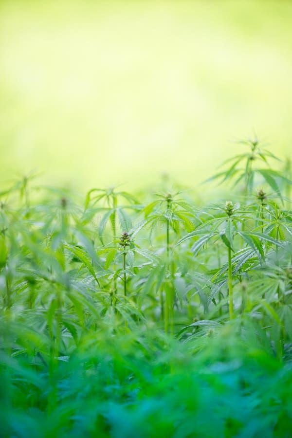 大麻种植年轻人 免版税库存图片