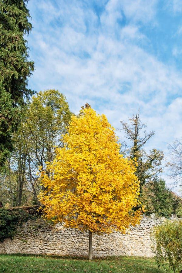 大黄色树和蓝天,秋天场面 库存照片