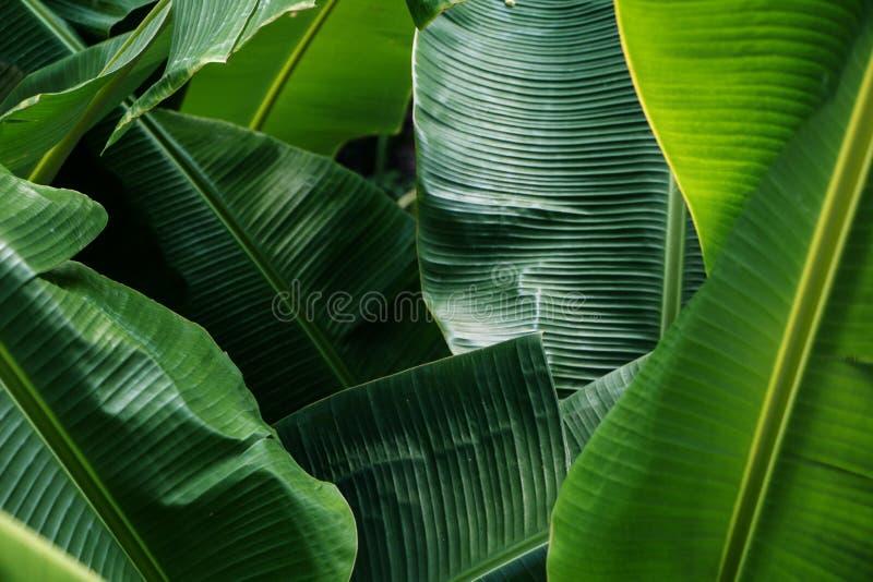 大绿色香蕉叶子在亚洲 免版税库存图片