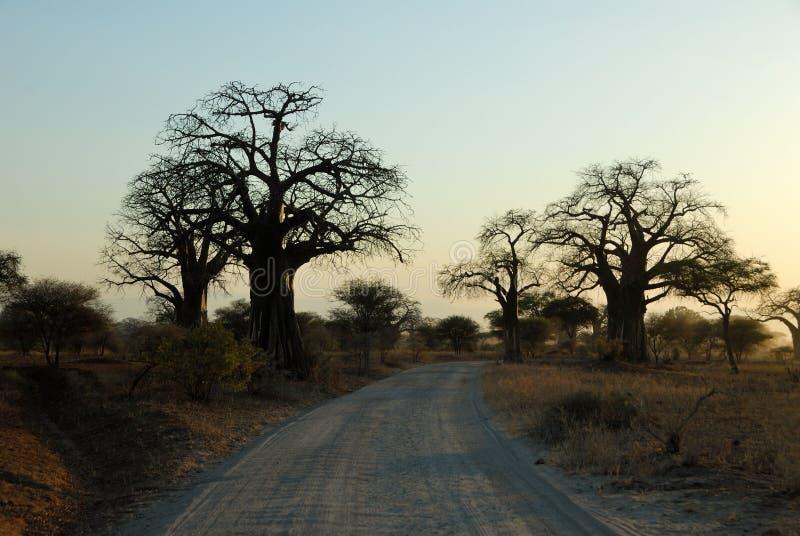大猴面包树剪影,塔兰吉雷国家公园,坦桑尼亚 图库摄影