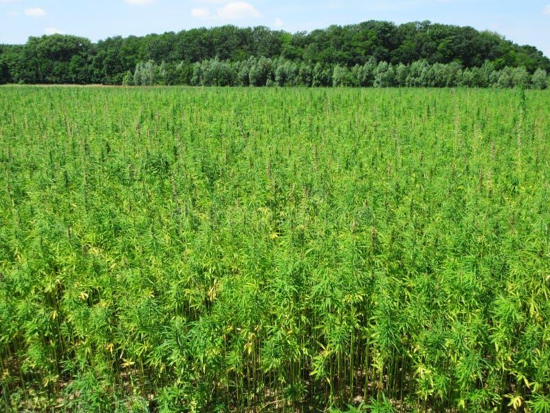 大麻领域 库存图片