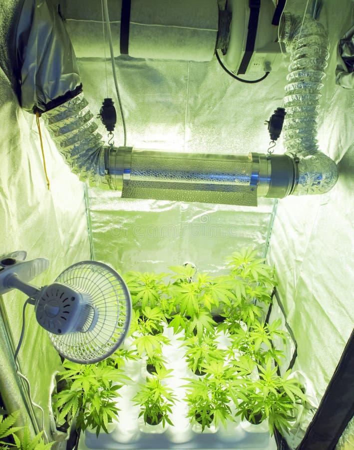 大麻 免版税库存照片