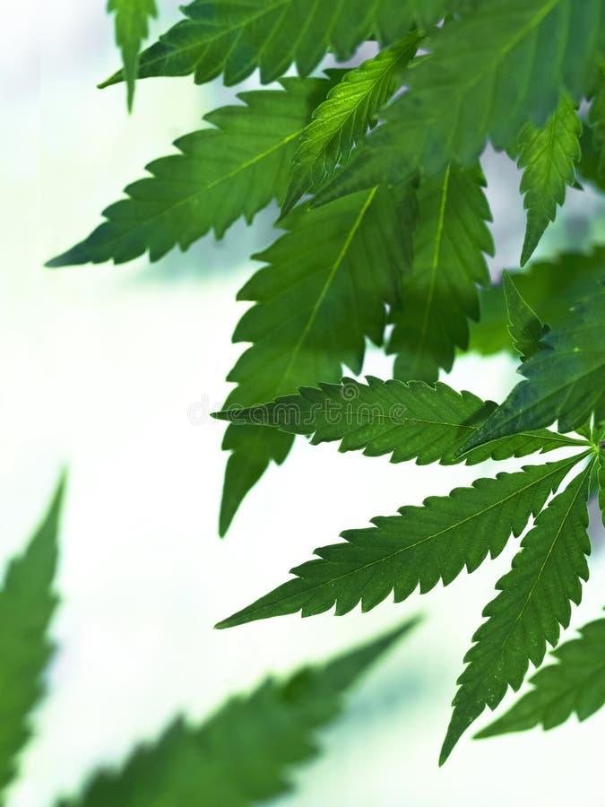 大麻 免版税图库摄影