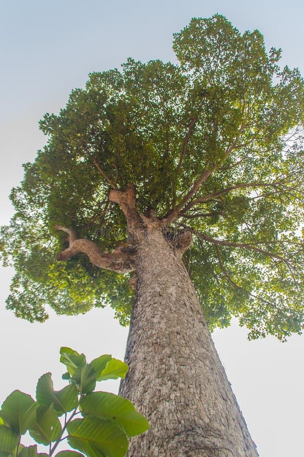大Dipterocarpus alatus树皮,查寻 亦称Dipterocarpus alatus '杨娜'泰语的,是一热带的为 免版税库存照片