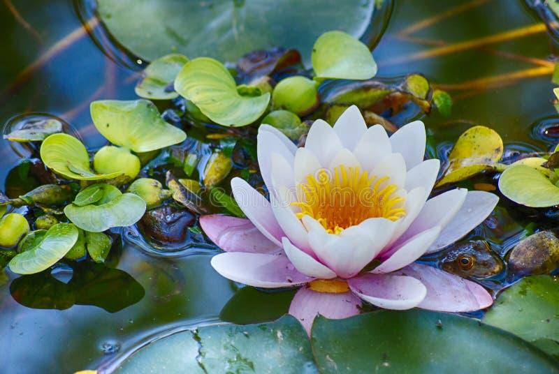 大lilly在池塘 库存照片