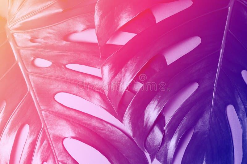 大monstera叶子 在一个时髦平的被放置的样式的热带题材背景在充满活力的梯度全息照相的颜色 流行音乐 免版税库存照片