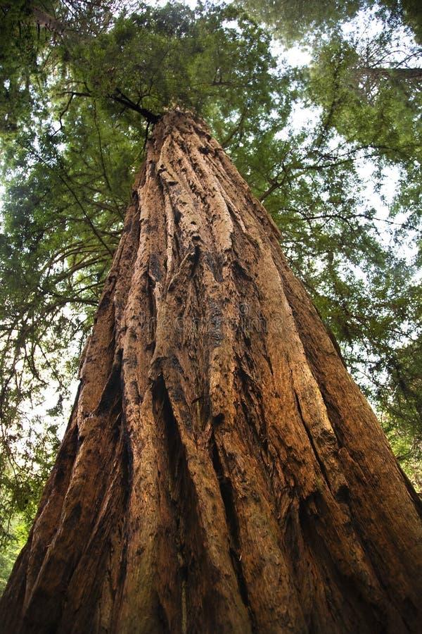大muir红木结构树森林 库存图片