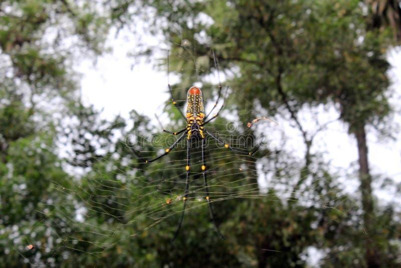 大Nephila maculata、巨型长有下巴的北金黄天体织布工或者巨型木蜘蛛在网 免版税库存图片