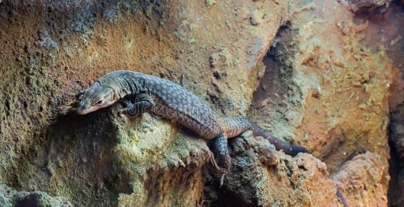 大storr的监控蜥蜴住在澳大利亚的一只热带玻璃容器宠物 图库摄影