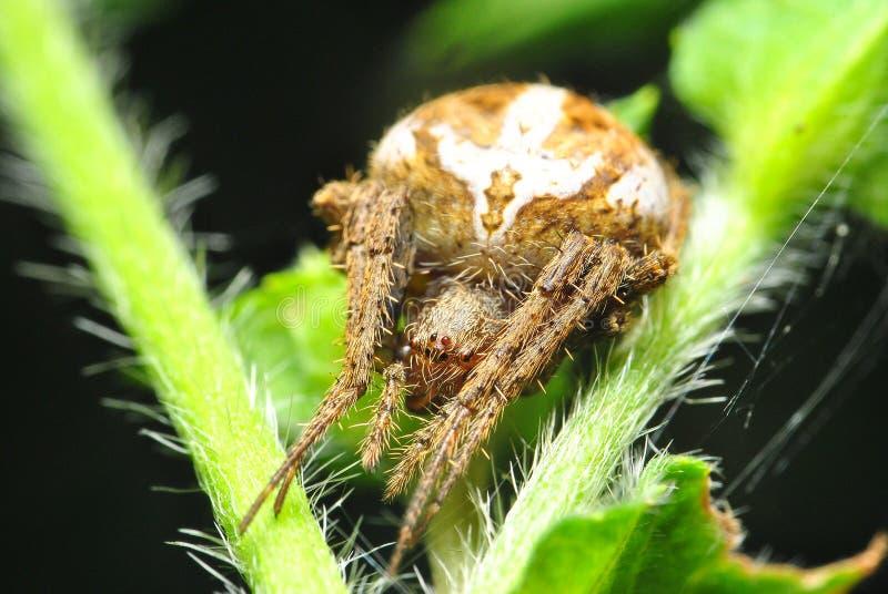 天体在绿色叶子的织布工蜘蛛 库存照片