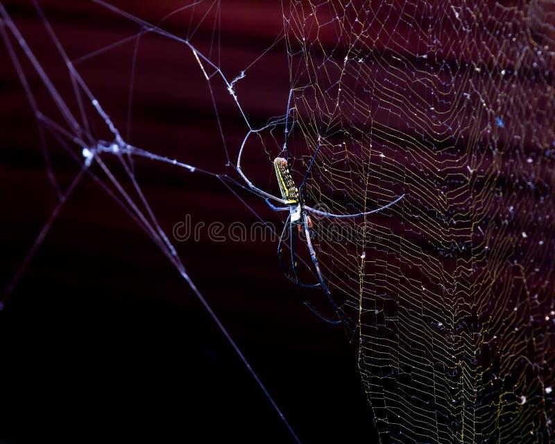 天体网Argiope蜘蛛 库存照片