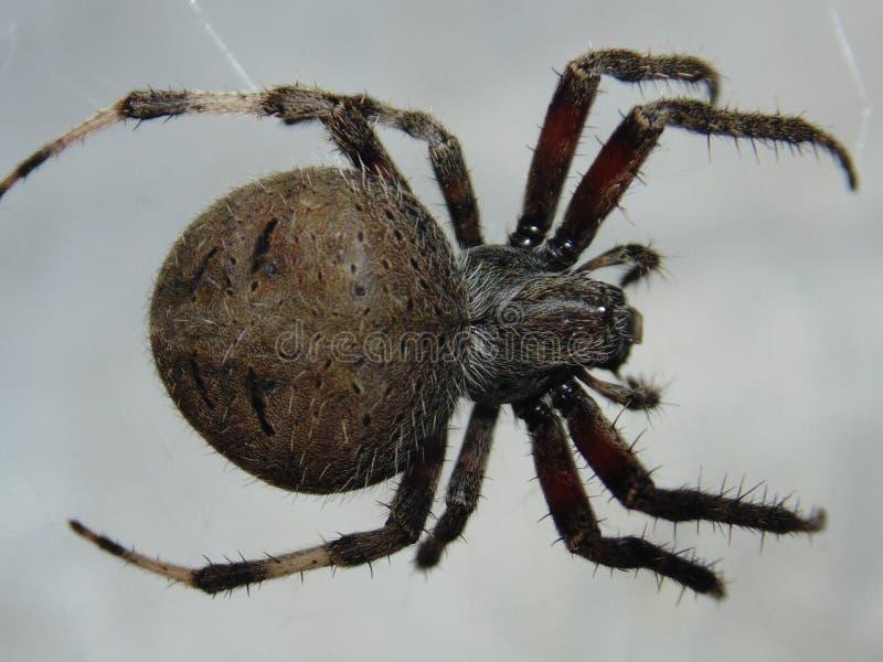 天体织布工蜘蛛 免版税库存图片