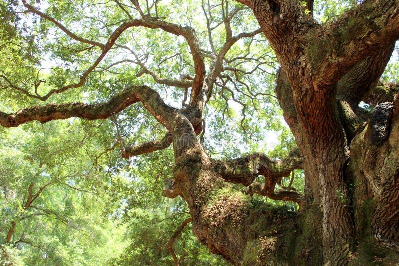 天使橡木,查尔斯顿 免版税库存照片
