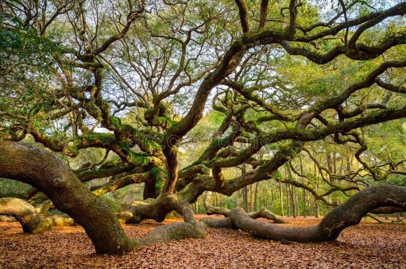 天使橡树查尔斯顿南卡罗来纳风景自然Photograp 免版税图库摄影