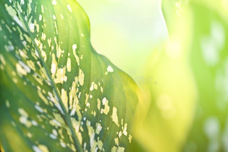 天南星科植物绿色叶子和阳光夏天自然迷离背景/沉默寡言的藤茎园林植物 图库摄影