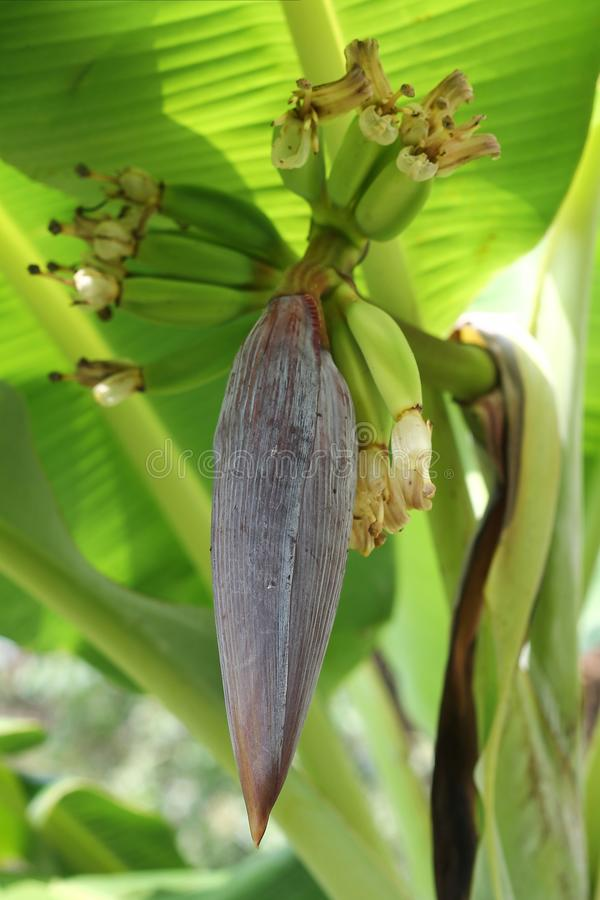 天堂的芭蕉属,香蕉树花,用小未成熟的果子 免版税库存照片