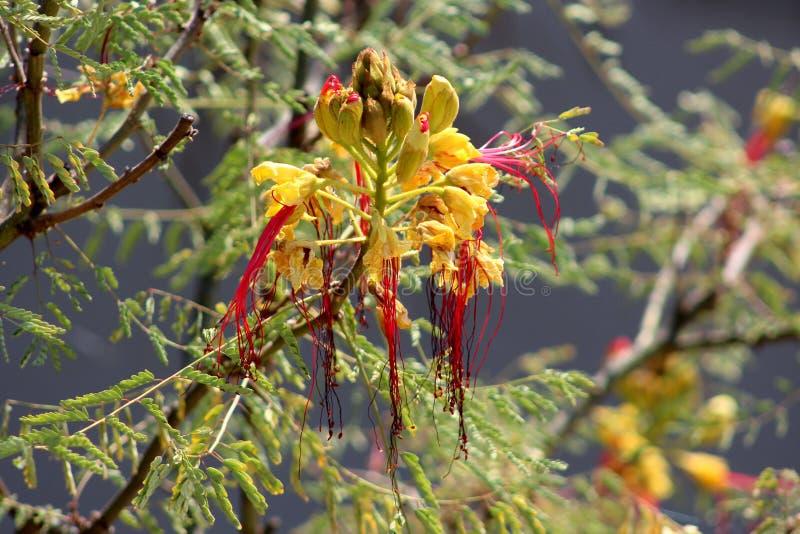 天堂鸟有头状花序的灌木或Erythrostemon gilliesii开花植物组成由部分地干明亮的黄色peta 库存图片
