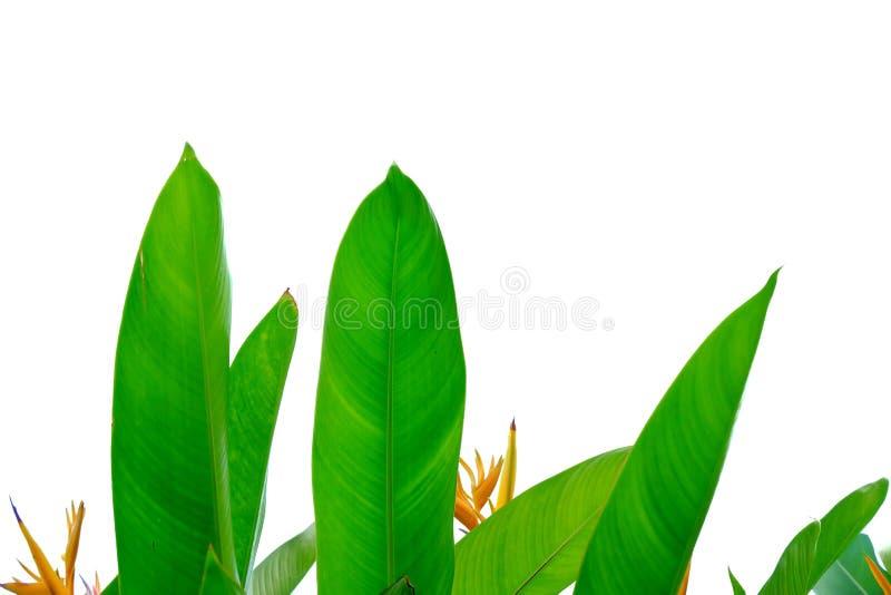 天堂鸟有黄色花开花的叶子在绿色叶子背景的白色被隔绝的背景 库存照片