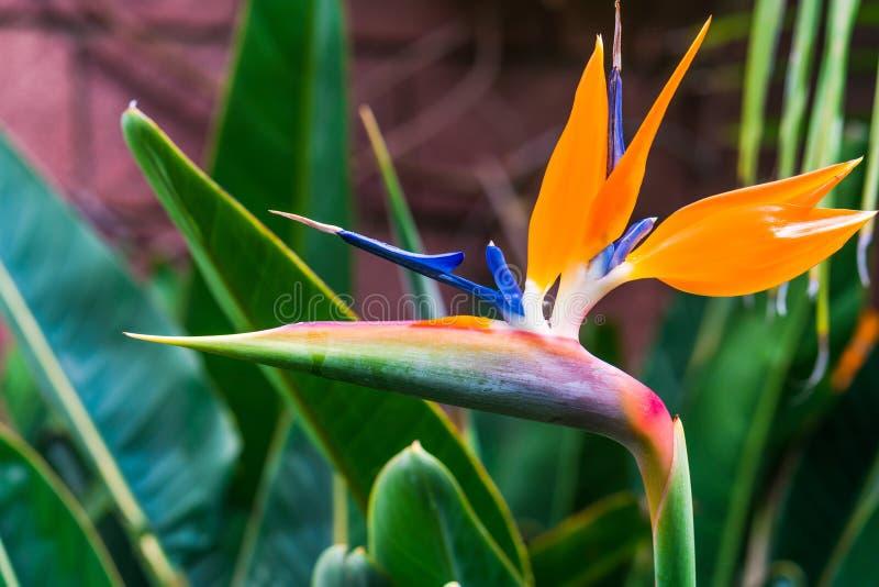 天堂鸟花鹤望兰reginae在植物园里 免版税库存照片