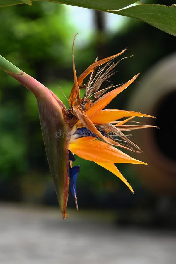 天堂鸟鹤望兰异乎寻常的热带花 免版税库存照片