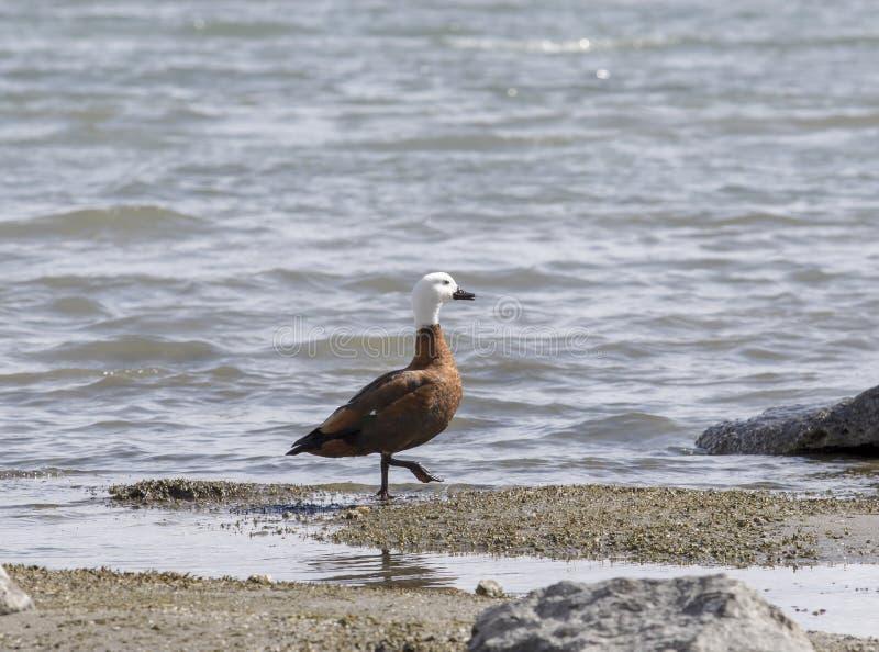 天堂鸭子的狂放的女性在湖wanaka新西兰的 免版税库存图片