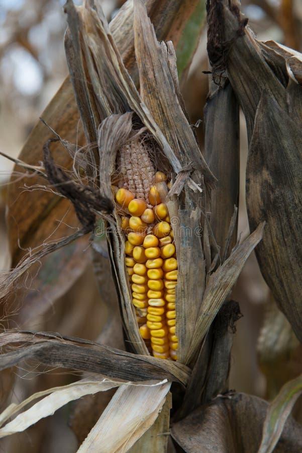 天旱损坏的玉米庄稼 免版税库存照片