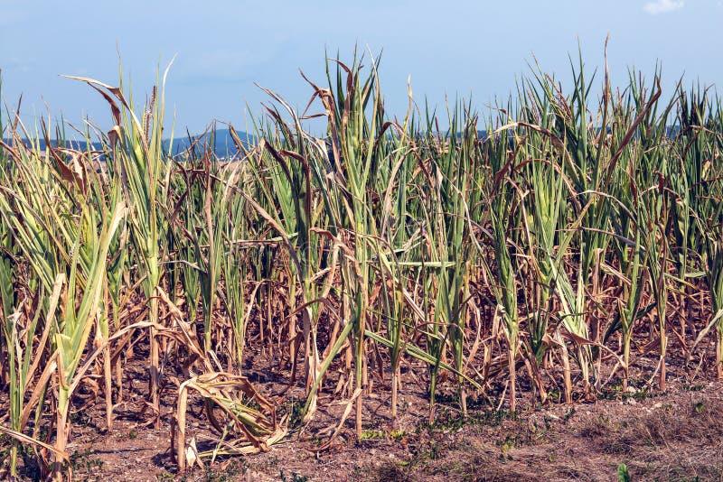 天旱麦地在热的夏天 库存图片