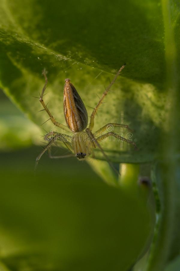 天猫座蜘蛛oxyopes javanus 库存图片