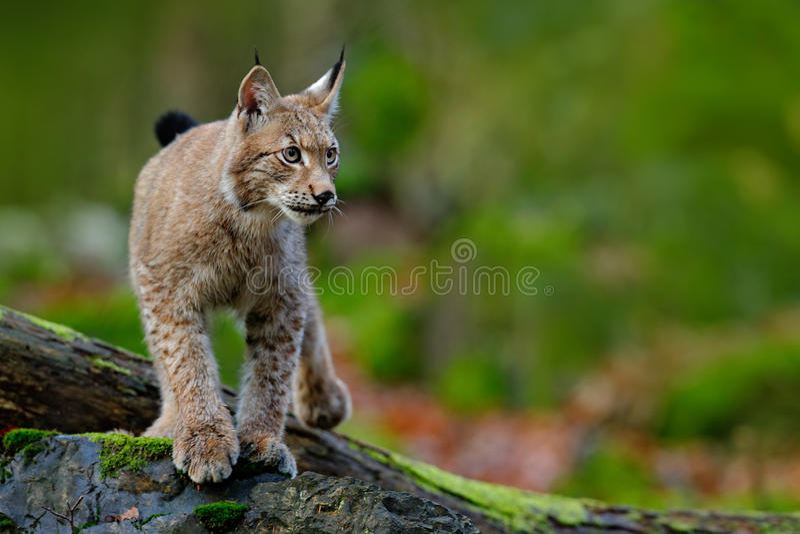 天猫座,走在与绿色森林的绿色青苔石头的欧亚野生猫在背景,动物在自然栖所,德国中 免版税库存照片