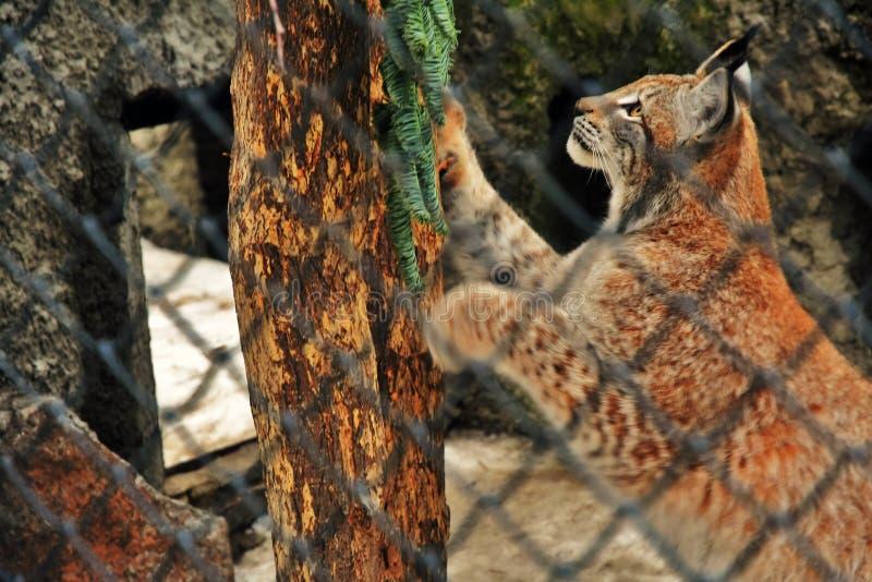 天猫座lyns在树设法上升和逃脱笼子 库存图片