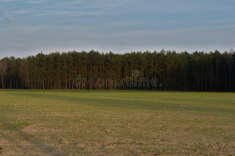 天空、杉木和草 免版税库存照片